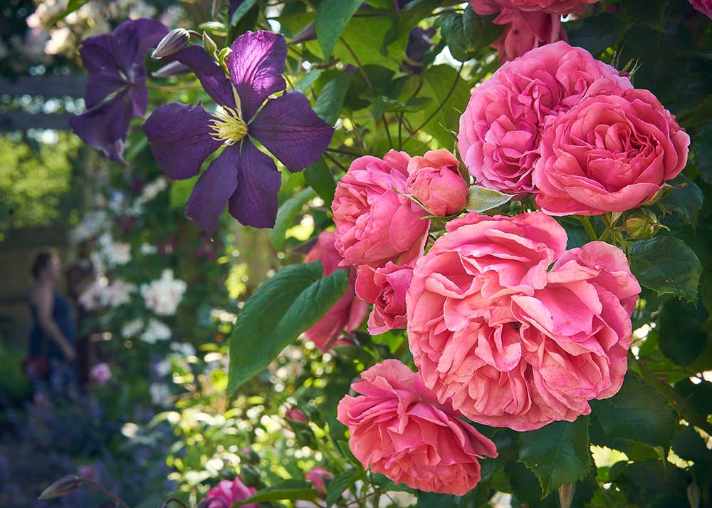 Bright pink climbing rose with deep purple clematis intertwined