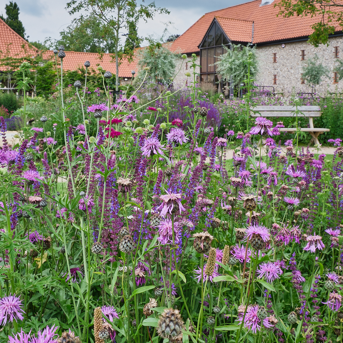 Purple prairie or meadow style plantign outside an old Sussex barn