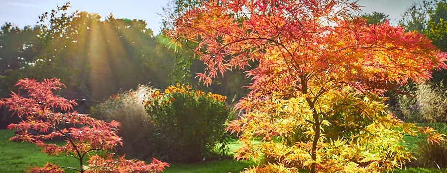 acer trees with autumn colour and leaves backlight with warm sunlight