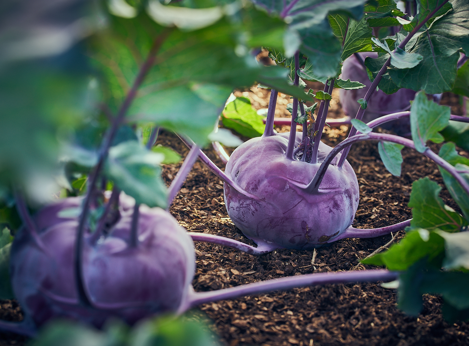 purple Kohl Rabi in compost