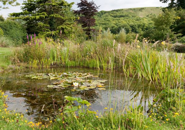 A wildlife pond with marginal plants and water lilies